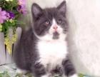 新年特惠 蓝白英短小猫