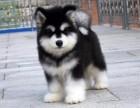 高智商的阿拉斯加犬出售 赛级品质 销售签订健康协议