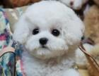 重庆纯种比熊犬价格 重庆哪里能买到纯种比熊犬
