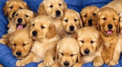 金毛寻回犬 金毛导盲犬 血统纯正 单双血统都有