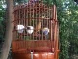 精品画眉鸟出售