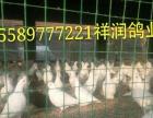 观赏鸽哪里价格低济宁市成宽特种养殖