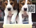 纯种比格幼犬出售中,三个月无条件退换,三年包治