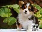 高品质柯基犬 专业基地 健康签协议 可送货上门