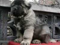 出售精品高加索 俄罗斯引进种狗 大骨架大毛量