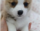 上海出售威爾士柯基犬幼犬活體大骨量三色黃頭柯基