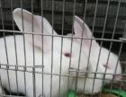 獭兔 兔子 可爱的力克斯兔