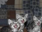 自家繁殖纯种美短猫 纯种虎斑猫 虎斑加白