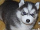 哈士奇价格 哈士奇多少钱 哈士奇图片 哈士奇犬领养转让