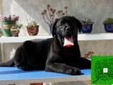 认证犬舍 出售拉布拉多幼犬 完美家庭伴侣犬