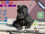 宠物店和狗市里的卡斯罗可以买吗 健康的多少钱一只
