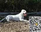纯种杜高犬狗狗出售