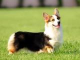 北京正規繁殖基地出售大中小型寵物犬保健康可送上門選