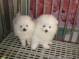 长期繁殖博美犬 各类纯种名犬 包活签协议