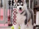 河南郑州哪里卖哈士奇幼犬/哈士奇幼犬多少钱一只