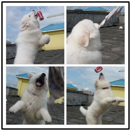 纯种大白熊犬价格 大白熊图片本地哪里有狗场