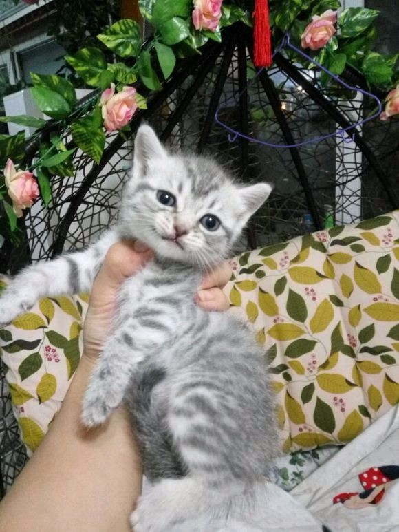 美短弟弟妹妹出售中 疫苗齐全 支持上门看猫咪