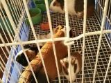 自养荷兰猪天竺鼠出售