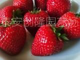 牛奶草莓苗价格,草莓苗基地批发及购买