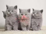 昆明宠物 昆明哪里的蓝猫最便宜 纯种蓝猫一般卖多少钱一只