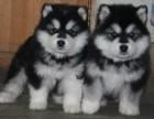强力推荐纯种阿拉斯加幼犬 超帅气,超大形体