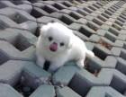 上海哪里有串串犬卖 泰迪金毛哈士奇秋田博美阿拉多少钱价格