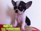北京哪里出售纯种吉娃娃幼犬 最小的吉娃娃 墨西哥吉娃娃犬