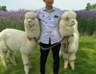 上海长宁区小羊驼租赁-驼羊出租-草泥马转租-婚礼庆典展览展示