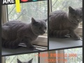 家养英短蓝猫成母