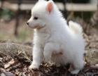 气质优雅高贵 纯种银狐犬 自带仙气