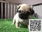 正规犬舍繁殖精品纯种八哥犬签订协议品质保障