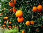 湖南新宁优质纽荷尔脐橙 面向全国寻求合作批发商
