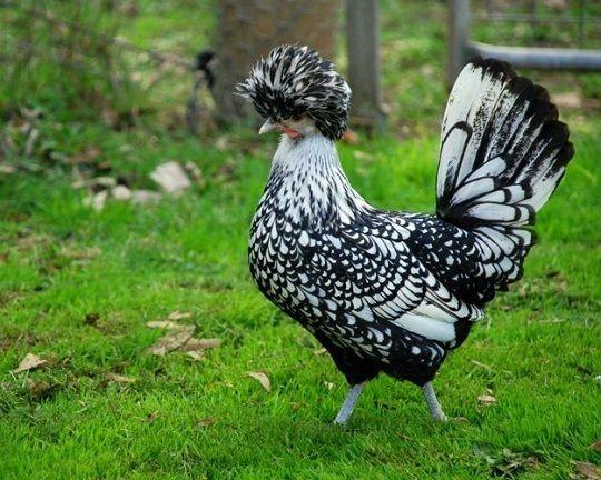 畢節出售婆羅門雞 繡球雞 帽子雞 個大品相好