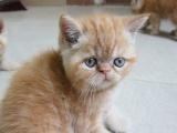 加菲猫短毛猫家庭自养出窝了