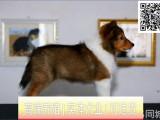 签署安全协议终身质保 出现问题随时退换 喜乐蒂犬