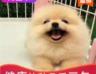 本地出售纯种博美幼犬,十年信誉有保障