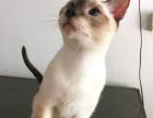 聪明可爱的小暹罗猫咪