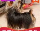 本地出售纯种约克夏幼犬,十年信誉有保障