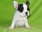 济南纯种英国斗牛犬大概多少钱一只品种纯正 售后保障 签协议