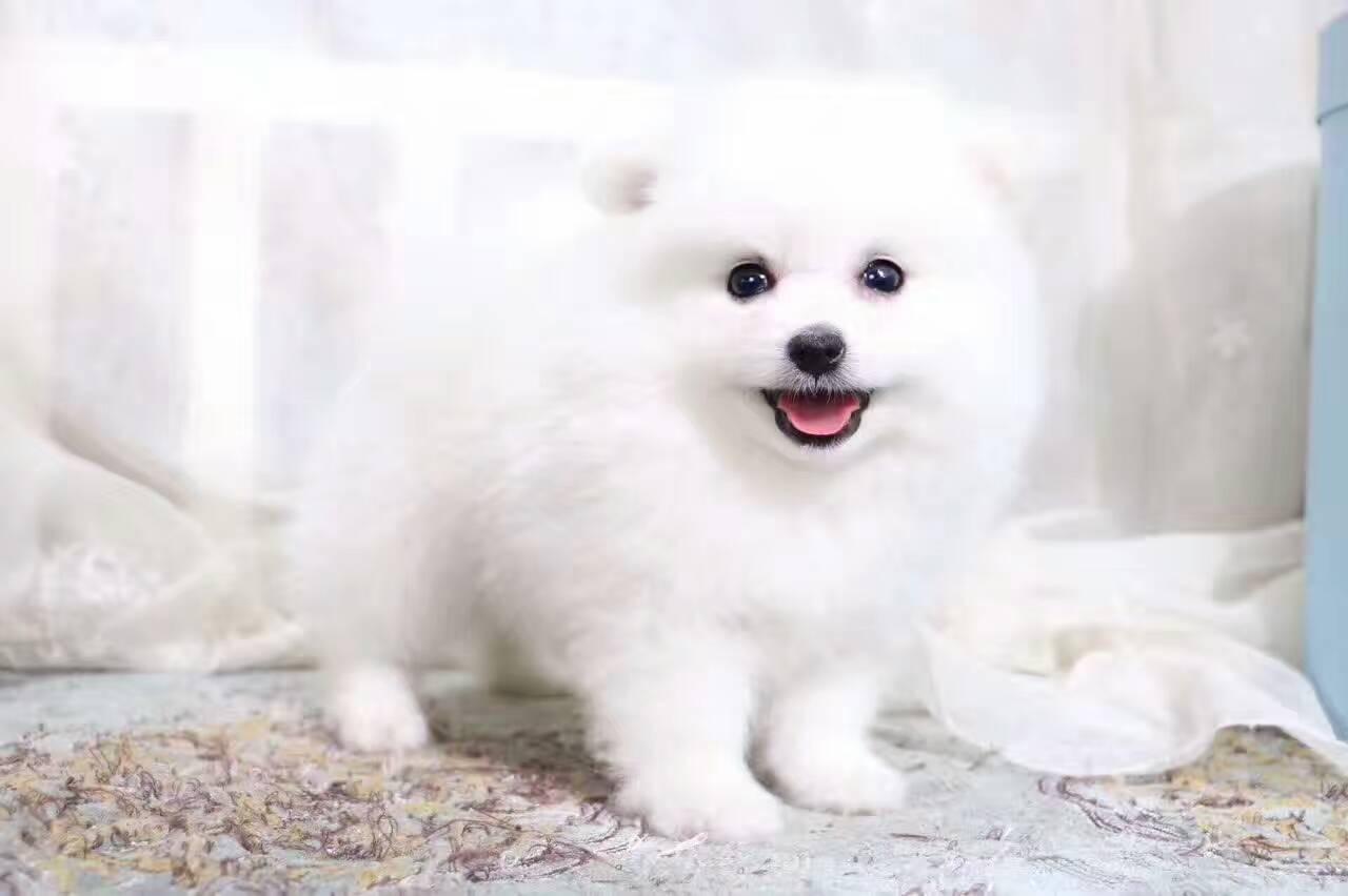 健康活泼的球体博美犬 小体哈多丽博美 高贵华丽