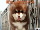 西宁哪里有卖阿拉斯加 纯种阿拉斯加雪橇犬价格 灰色熊版