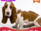 哪有巴吉度犬出售,巴吉度犬出售多少钱