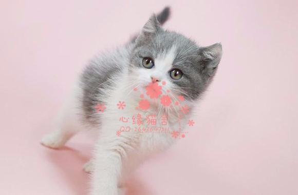 南京哪里有卖蓝猫幼崽 南京较便宜蓝猫多少钱一只保健康