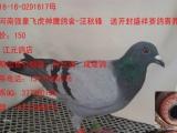长期出售公棚鸽,特比鸽,成绩鸽,本人广东潮州人,店在 潮州