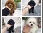 本地犬舍出售纯种京巴 双血统带证书