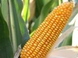 黑龙江哪里经销瑞福尔2号玉米种子