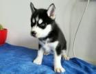 重庆精品纯种哈士奇幼犬出售健康保障疫苗齐全可上门选购