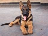本犬舍常年出售高品宠物犬幼犬