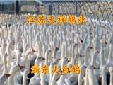 常年销售优质改良大白鹅鹅苗