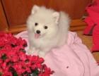 台州哪有日本尖嘴犬卖 台州日本尖嘴犬价格 日本尖嘴犬多少钱